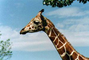 1-giraffe-300x202